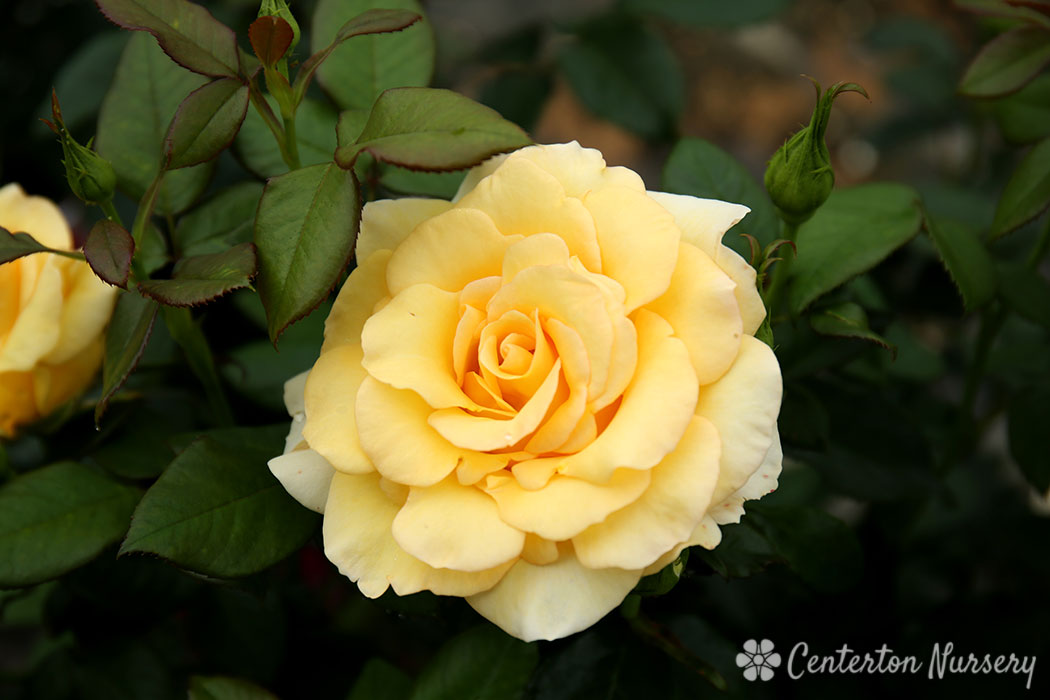 'Gold Struck' Grandiflora Rose