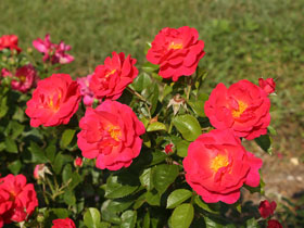 'Highwire Flyer' Shrub Rose