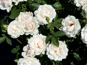'Icecap' Shrub Rose