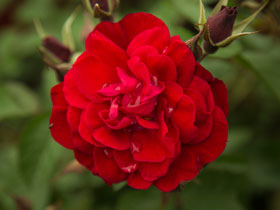 'Linda Campbell' Seaside Rose