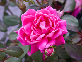 Pink Double Knock Out<sup>&reg;</sup> Rose