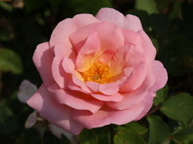 Peachy Knock Out<sup>&reg;</sup> Rose