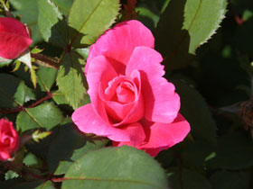 Pink Knock Out<sup>&reg;</sup> Rose