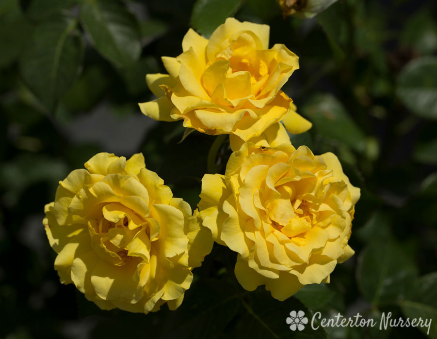 'Sparkle & Shine' Floribunda Rose