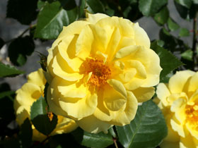 'Sky's the Limit' Climbing Rose