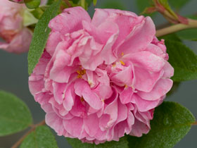 'Therese Bugnet' Seaside Rose