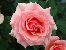 'Tournament of Roses' Hybrid-Tea Rose