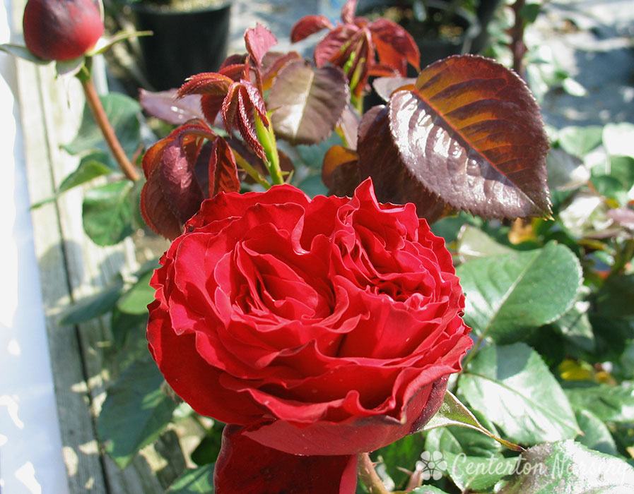 'Traviata' Hybrid-Tea Rose