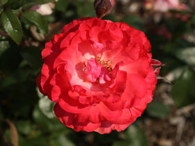 'Tahitian Treasure' Hybrid-Tea Rose