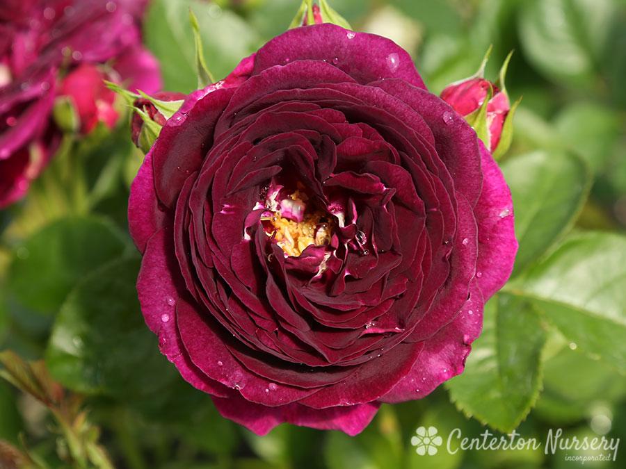 Twilight Zone Hybrid Tea Rose
