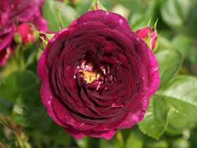 'Twilight Zone' Hybrid-Tea Rose