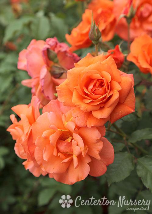 Westerland Climbing Rose