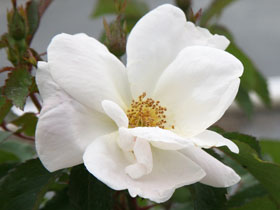 White Knock Out<sup>&reg;</sup> Rose