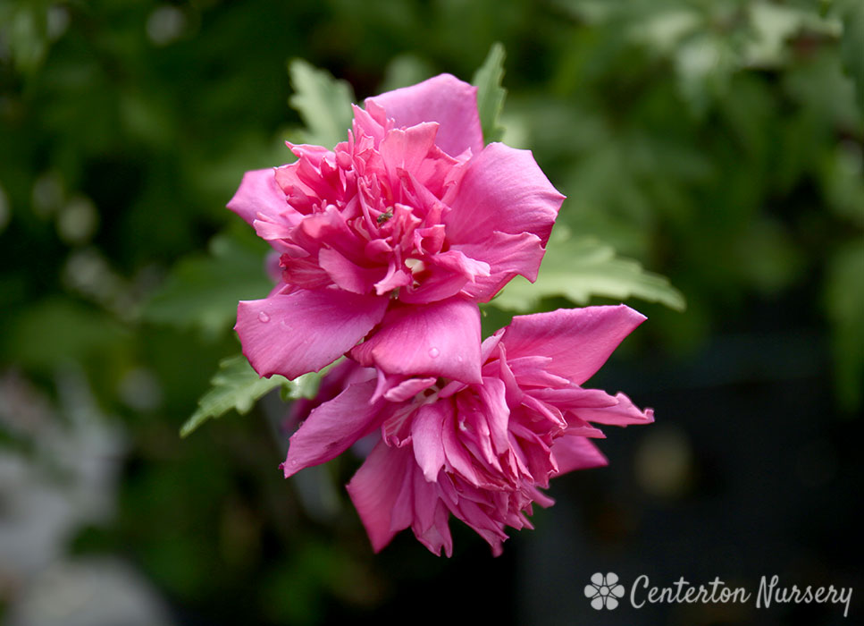 Double Red Rose Of Sharon