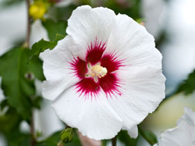 'Helene' Rose of Sharon