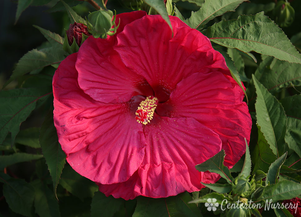Images of Summer Paradise Hardy Hibiscus - #rock-cafe