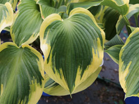 'Earth Angel' Hosta