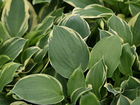 'Golden Tiara' Hosta