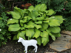 'Guacamole' Painted Hosta