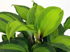 'Island Breeze' Hosta