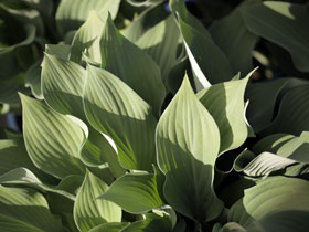'Krossa Regal' Hosta