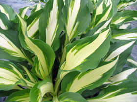 'Night Before Christmas' Hosta