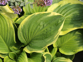 'Royal Wedding' Fragrant Hosta