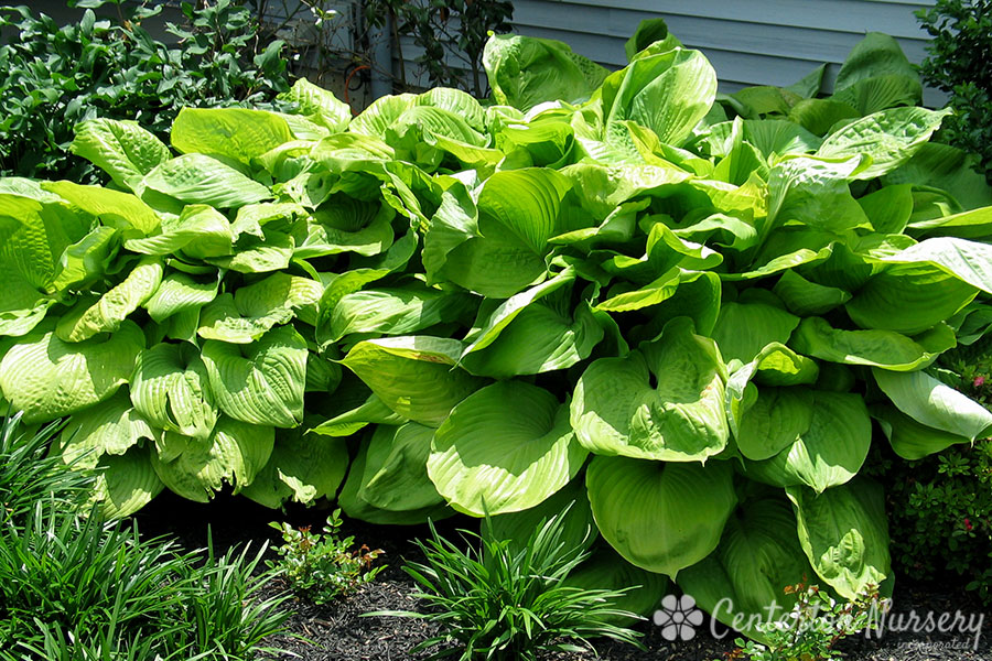 'Sum and Substance' Hosta