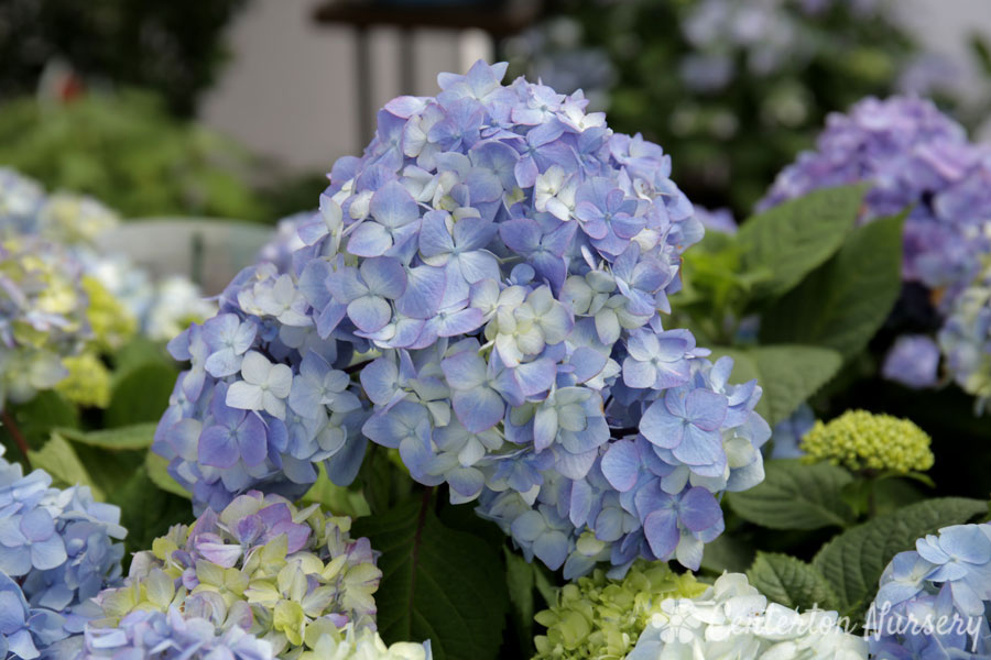 Endless Summer<sup>&reg;</sup> Bloomstruck Reblooming Mophead Hydrangea