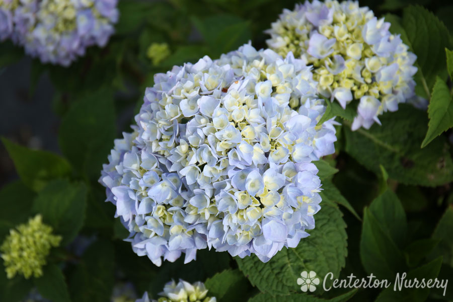 Endless Summer<sup>&reg;</sup> Reblooming Mophead Hydrangea