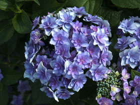 'Expression' Reblooming Mophead Hydrangea