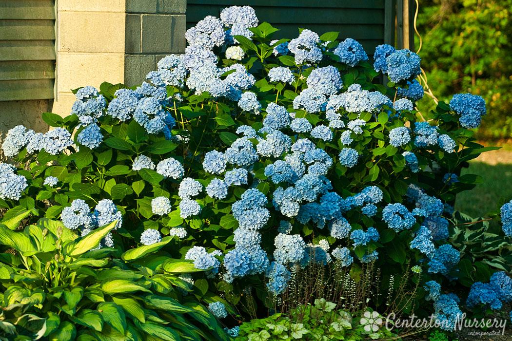 Nikko Blue Mophead Hydrangea