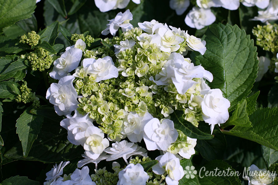 'Wedding Gown' Reblooming Mophead Hydrangea