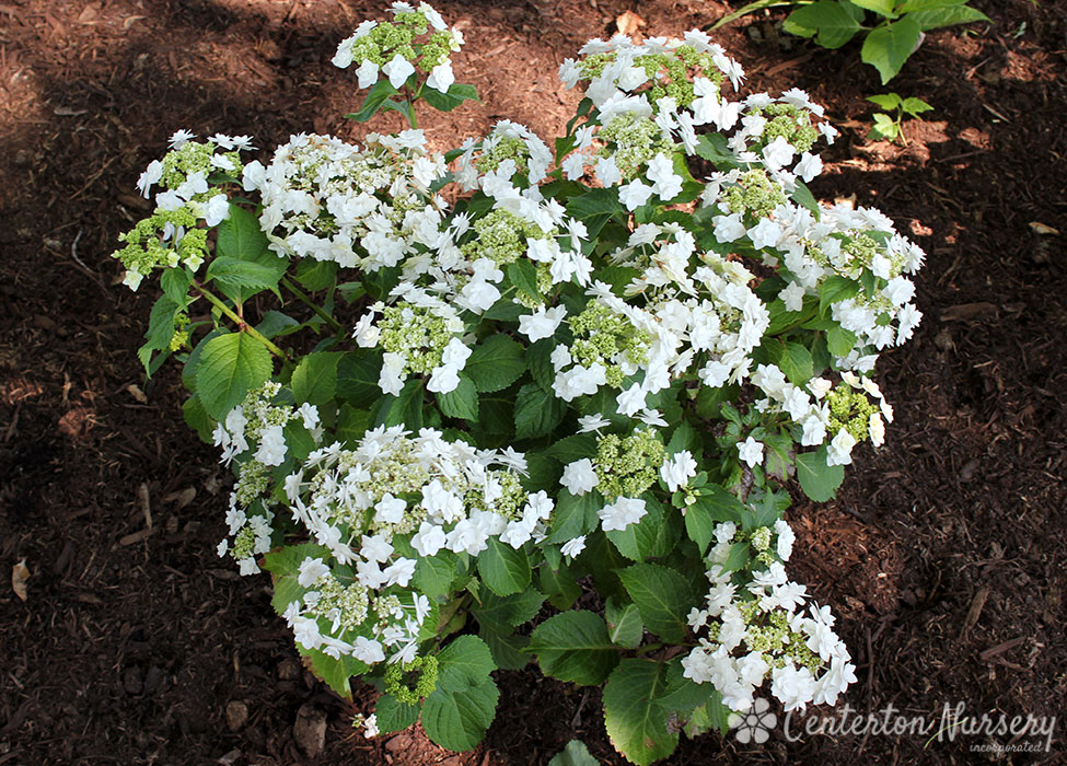 foto de 'Wedding Gown' Reblooming Mophead Hydrangea