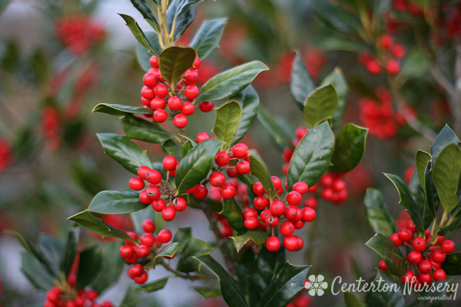 'Nellie Stevens' Holly Tree