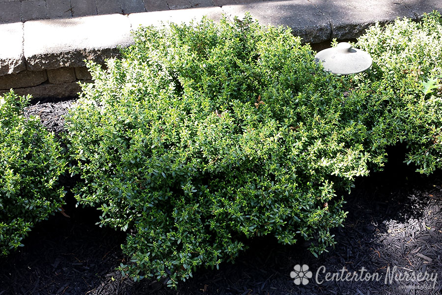 'Soft Touch' Japanese Holly
