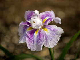 'Angel Mountain' Japanese Iris