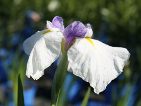 'Queen's Tiara' Japanese Iris