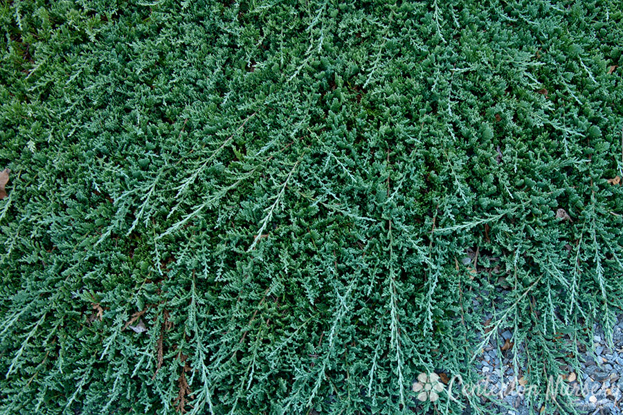 Blue Rug Creeping Juniper