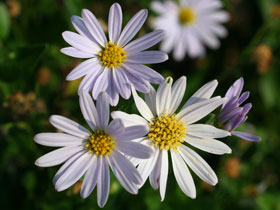 'Blue Star' Japanese Daisy