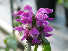 'Purple Dragon' Lamium