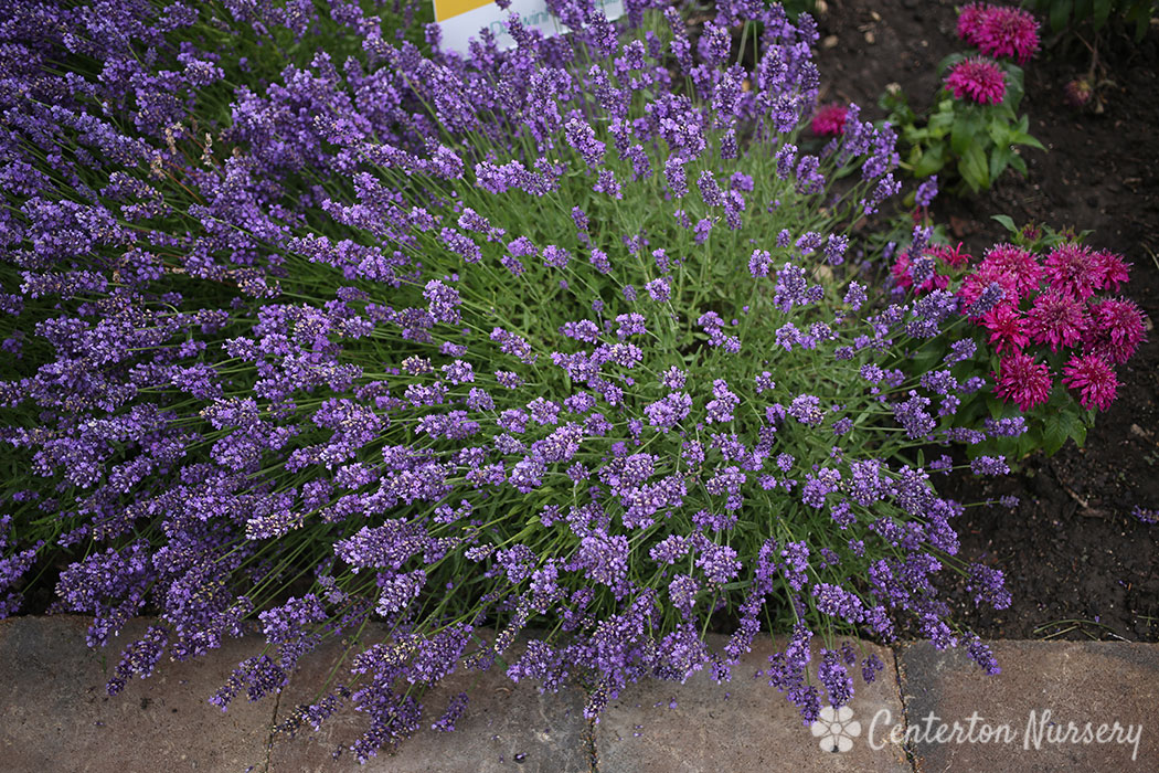 'SuperBlue' Lavender
