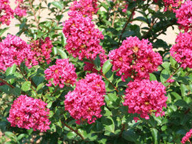 'Tonto' Rosy Red Hardy Crapemyrtle