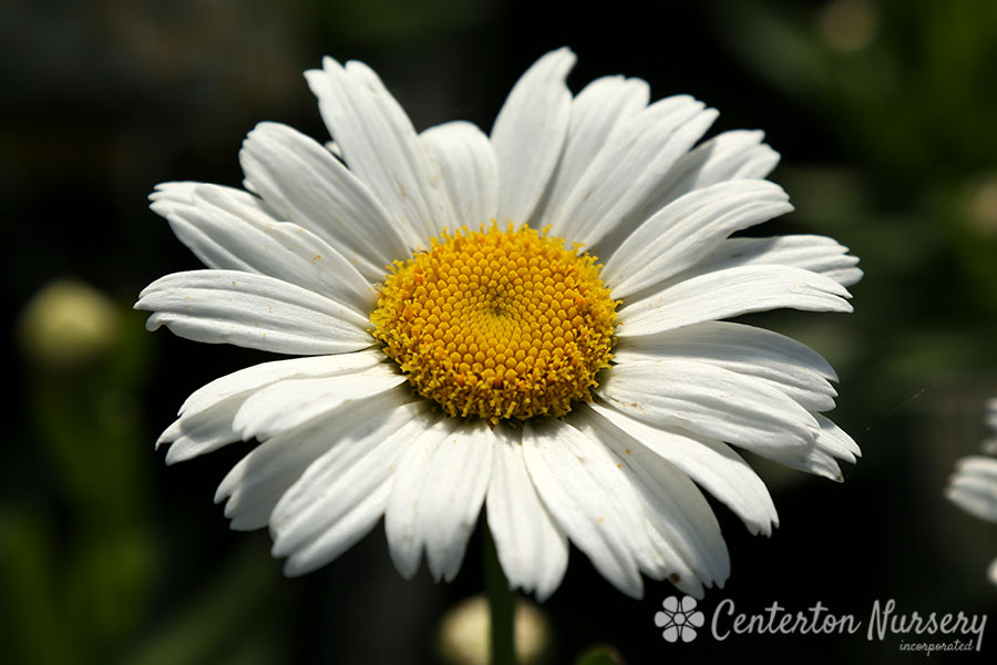 'Snow Lady' Shasta Daisy