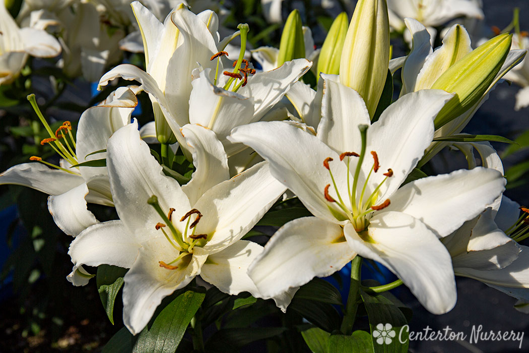 'Coldplay' Oriental Lily