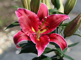'Love Story' Oriental Lily
