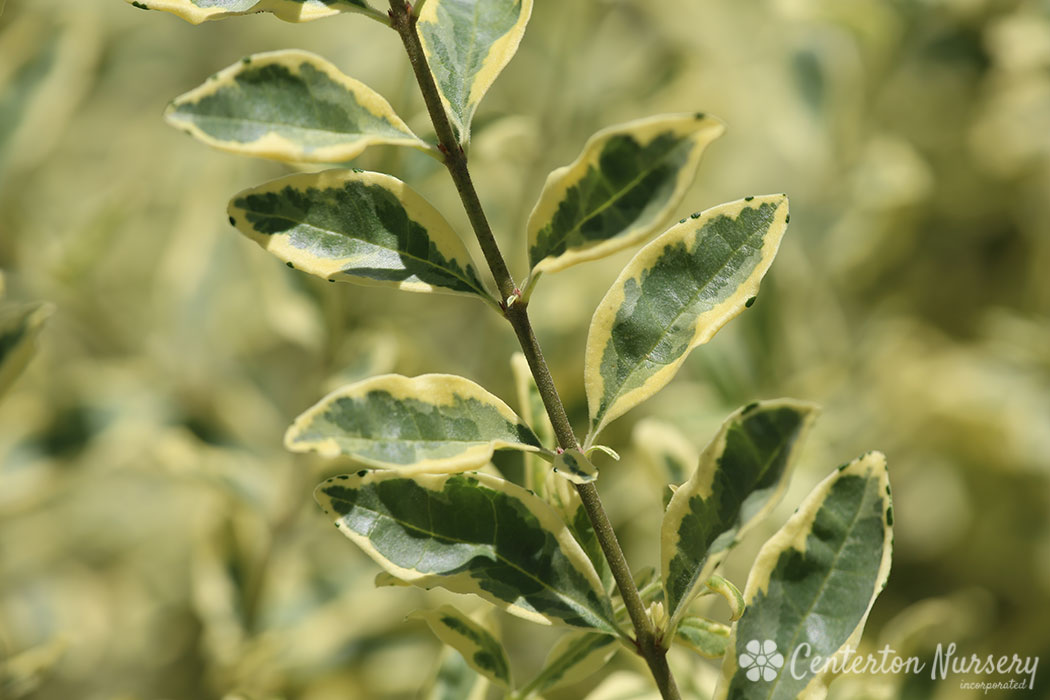 'Swift Creek' Variegated Privet