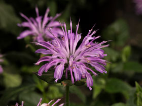 'Blue Moon' Bee Balm