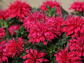 'Cherry Pops' Bee Balm
