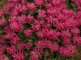 'Electric Neon Pink' Bee Balm